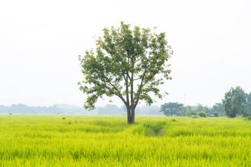 Big tree with green grass rice fields