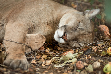 Portrait of a cougar, mountain lion, puma. Sleeping cougar. Wild animal in the nature