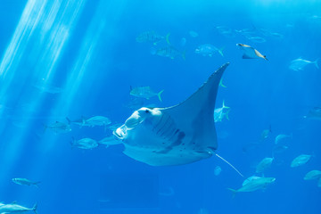 a stingray behind the glass with Marine life for background
