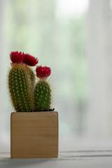 Purple flower of cactus in desert