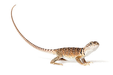 Collared lizard isolated on white background Wall mural