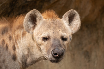 Deurstickers Hyena hyena