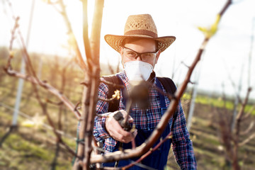 Farmer is spraying herbicide in an pear orchard