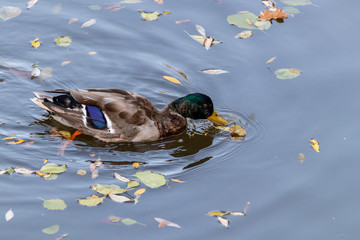 Colorful duck in the water along with colorful autumn leaves