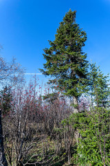 Fototapete - old big spruce in the forest in the autumn in the southern Urals