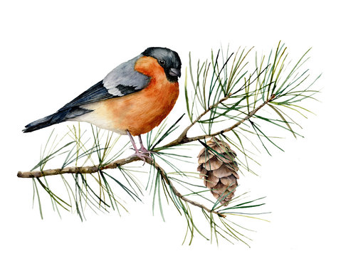 Watercolor Christmas composition with bullfinch. Hand painted winter card with bird, fir branch and cone isolated on white background. Floral illustration for design, print, fabric or background.