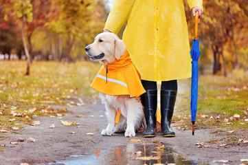 Walk under the rain with a godlen retriever in raincoat