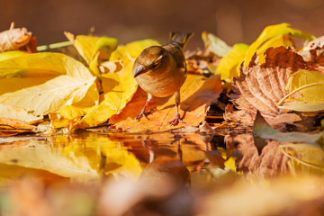 beautiful bird looks in its reflection in an autumn puddle
