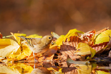 common chaffinch drinks water in a beautiful autumn puddle