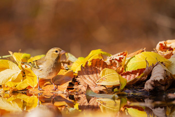wild bird among fallen beautiful colorful leaves in the forest