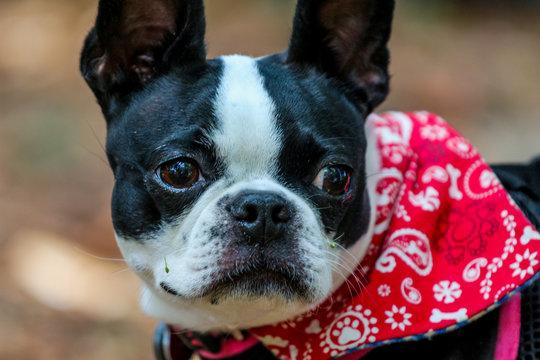 portrait of a dog / boston terrier