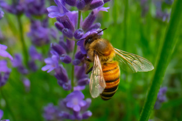 Honey Bee collecting pollen on a flower in the garden, Bee flying, bee on the flower, Super macro bee photography