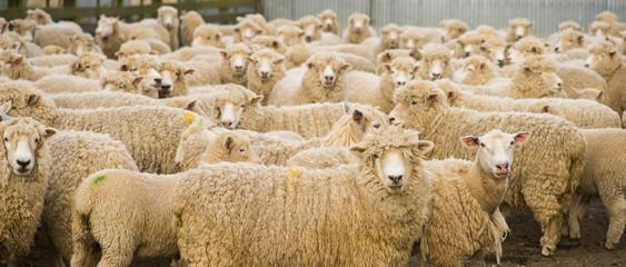 Fond de hotte en verre imprimé Sheep schafherde neuseeland