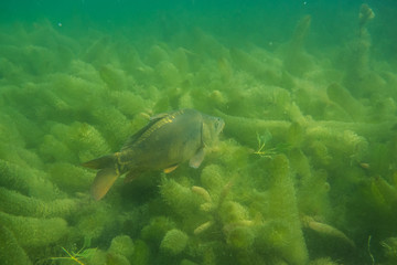 carp under water, under water photography in a beautiful lake in austria, Amazing under water fish image