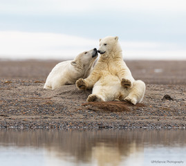 Tuinposter Ijsbeer Polar Bear Siblings