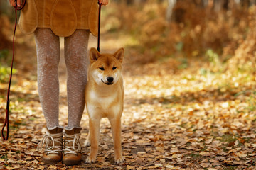 Autumn mood. Beautiful puppy dog shiba inu and its owner on the walk in the sunny autumn park. Pet love, autumn activities, dog training concept. Popular dog breed
