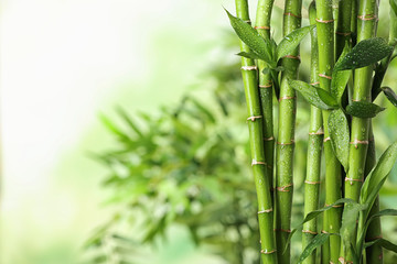 Spoed Fotobehang Bamboo Green bamboo stems on blurred background. Space for text