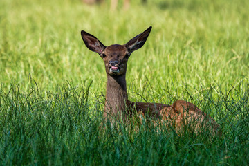 Fototapeten Reh Roe Deer, Capreolus capreolus lives mostly in Germany and France