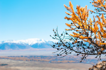 Yellow autumn larch tree with cones in the mountains. Selective focus, blurred background. Altai, Siberia, Russia