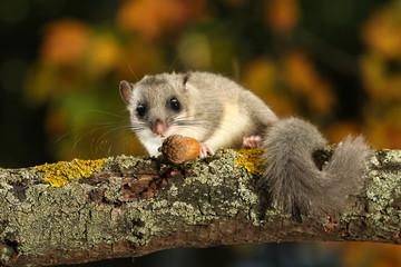 Dormouse, Glis glis eats acorn on the branch