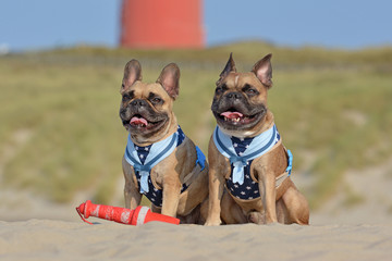 Two happy brown French Bulldog dogs wearing matching maritime harnesses with sailor collars sitting on beach on vacations