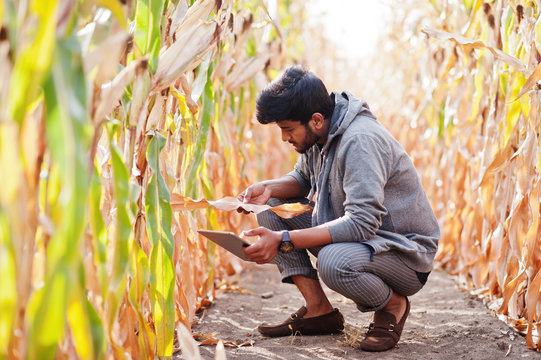 South asian agronomist farmer inspecting corn field farm. Agriculture production concept.