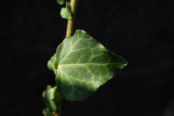 Hoja verde aislada de planta de hiedra con fondo oscuro en el jardín e iluminación natural del sol..