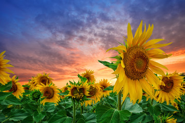Sunflowers at sunset against dramatic sky