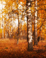Deurstickers Natuur golden autumn birches