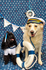 Portraits of two black dwarf poodle dogs and a light purebred dog in a marine style.