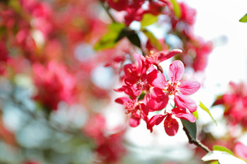 Blossoming spring tree, pink flowers, closeup