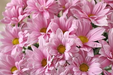 Beautiful pink chrysanthemum flowers as background, closeup