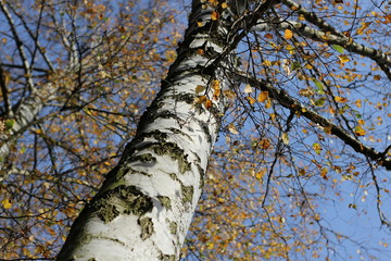 birch tree in autumn with blue sky