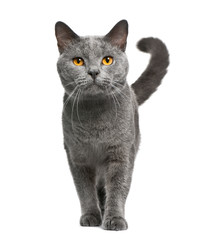 Wall Mural - Chartreux cat, 16 months old, standing in front of white background