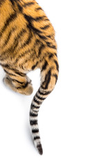 Close up of two months old tiger cubs tail, isolated on white