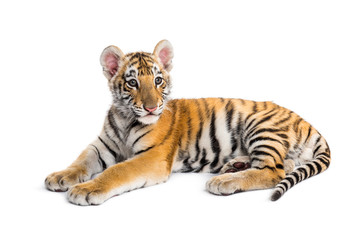 Wall Mural - Two months old tiger cub lying against white background