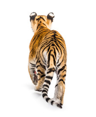 Wall Mural - Back view of a two months old tiger cub walking, isolated on white