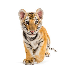 Spoed Fotobehang Tijger Two months old tiger cub walking against white background