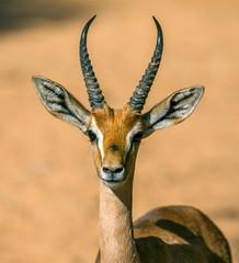 impala in africa