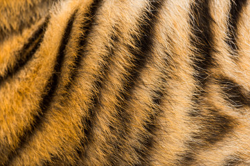 Wall Mural - Close up of two months old tiger cubs fur