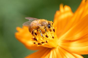 ミツバチとキバナコスモス
