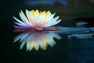 Fotobehang Waterlelies Blooming lotus flower or water lily in the pond