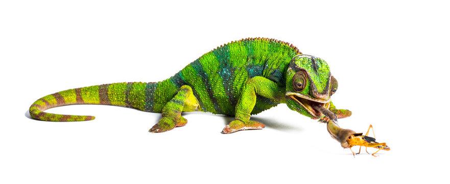 Panther chameleon, Furcifer pardalis, eating Migratory locust