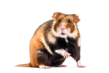 Wall Mural - European hamster, Cricetus cricetus