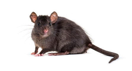 Wall Mural - Black rat, Rattus rattus, in front of white background