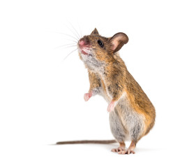 Wall Mural - Eurasian mouse, Apodemus species, in front of white background