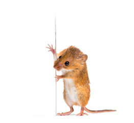 Wall Mural - Eurasian harvest mouse, Micromys minutus, isolated on white