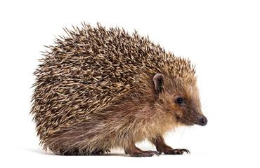 European hedgehog, Erinaceus europaeus