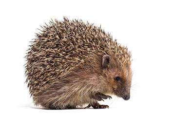 Fototapete - European hedgehog, Erinaceus europaeus