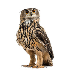 Eurasian eagle-owl, Bubo bubo, is a species of eagle-owl